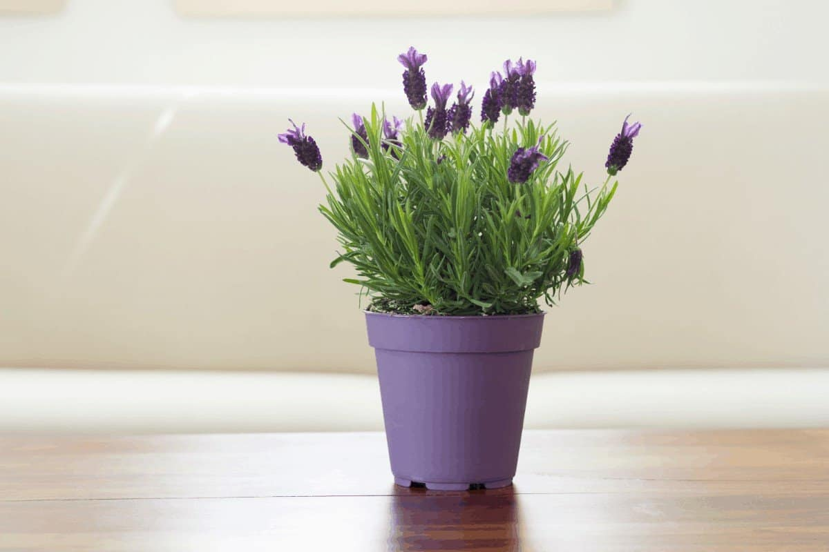 Can you grow lavender indoors