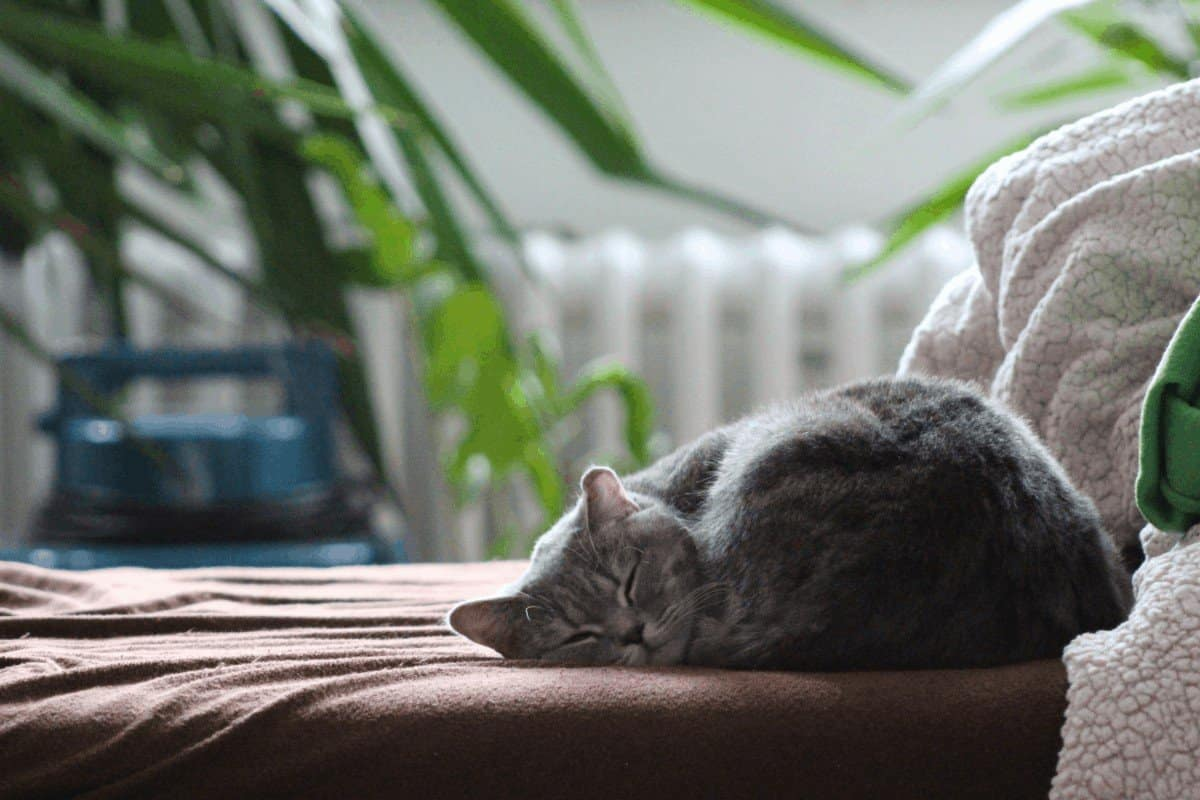 Pain relief for cats home remedies